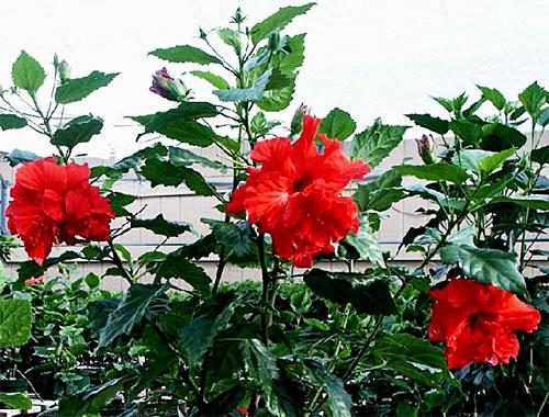 чем поливать китайскую розу чтобы цвела